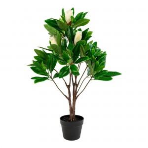 Medis Magnolia